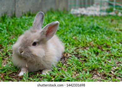Cute Lionhead rabbit eating a carrot in the garden. This animal is an adorable pet.