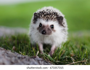 Cute little african pygmy hedgehog facing the camera
