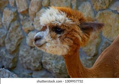 Cute little alpaca (lama animal, llama) baby in farm. Beautiful pretty alpaca or llama on stone background. Funny animal portrait. Close up tender young alpaca from llama farm or zoo. Furry lama baby