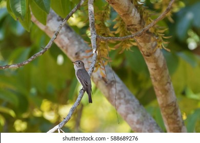 Cute little Asian Brown Flycatcher bird in brown perching on branch in Thailand, Asia (Muscicapa dauurica)