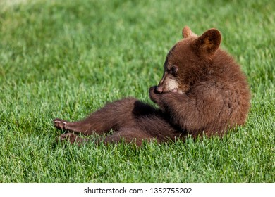 A cute little baby brown bear sitting back in the green spring grass in the sunshine and chewing on its front paw.