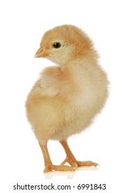 Cute little baby chicken against white background