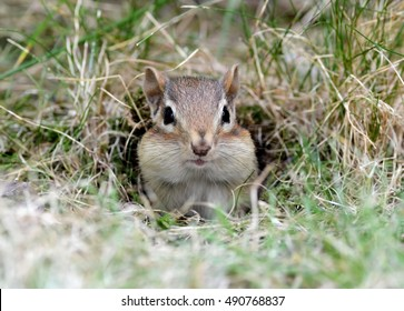 Cute little baby chipmunk peeking out of the burrow hole
