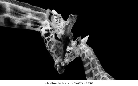 Cute Little Baby Giraffe Loving Her Mother