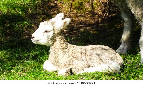 cute little baby lamb laying on fresh green grass, legs of sheep mother in background, animal encountered on meadow of New Zealand, country with big sheep population, concept for Easter holidays