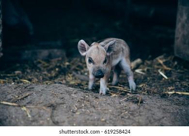 Cute little baby piglet at an animal farm