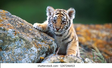 Cute little baby tiger