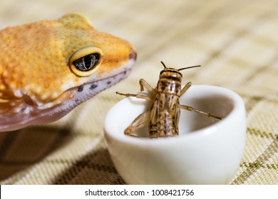 cute little baby yellow euplefar on a plaid background eating a cricket that lies in a white bowl