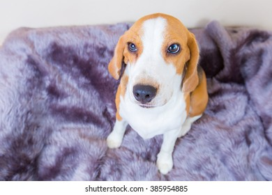 Cute little beagle dog sitting on the fur bed - top view