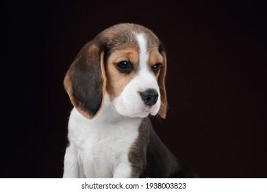 Cute little beagle puppy, close-up portrait