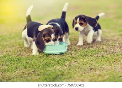 Cute little Beagles eating feed in dog bowl