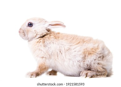 Cute little beige rabbit in studio on white isolated background.