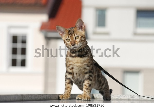 cute little bengal cat on the leash outside on a stroll