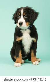Cute little Bernese Mountain Dog puppy on green background