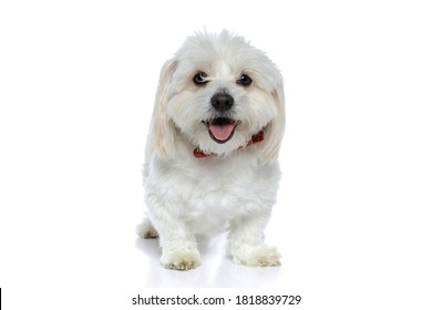 cute little bichon dog sticking out his tongue at the camera, wearing a red bowtie and sitting against white background