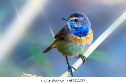 Cute little bird. Blue reeds background. Common bird: Bluethroat.