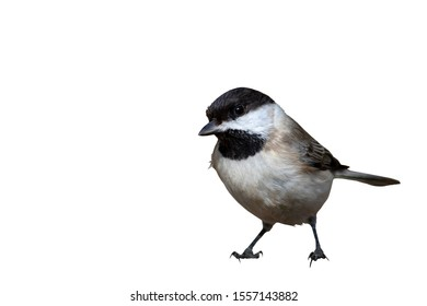Cute little bird. Isolated bird. White background. Bird: Sombre Tit. Poecile lugubris.
