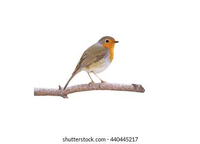 Cute little bird Robin. Isolated bird and branch. White background. Bird: European Robin. Erithacus rubecula.