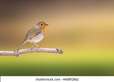 Cute little bird Robin. Isolated bird and branch. Colorful background. Bird: European Robin. Erithacus rubecula.