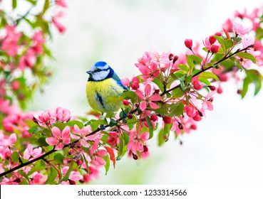cute little bird tit sitting on an Apple tree branch with bright pink flowers in spring garden