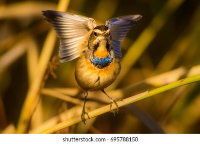 Cute little bird. Yellow reeds background.  Common bird Bluethroat / Luscinia svecica