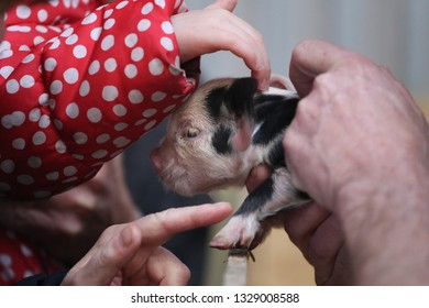 Cute little black ad white  piglet cuddled by human hands.