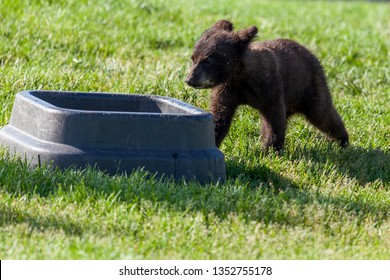 A cute little black bear walking to a food bowl in its enclosure in the spring grass and sunshine.