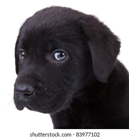 cute little black labrador retriever puppy looking at the camera. closeup picture on its head