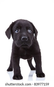 cute little black labrador retriever puppy standing on a white background, looking shy