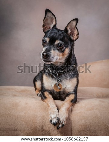 Cute Little Black Tan Chihuahua Mix Stock Photo Edit Now