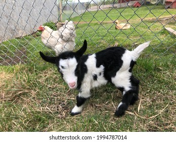 Cute little black and white baby goat on the farm with chicken and goat in background