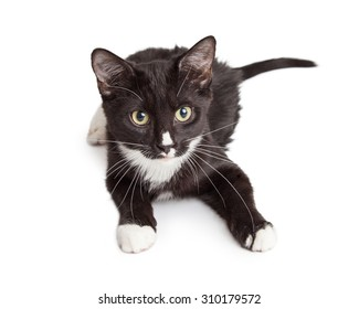 Cute little black and white kitten laying down on a white background and looking forward