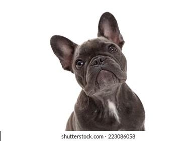 A cute little blue color  French Bulldog