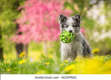 Cute Little Blue Merle Border Collie Puppy Sitting With The Ball In Colorful Park