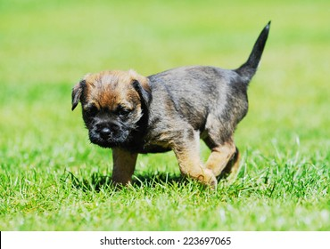 Cute little Border terrier puppy. The little dog is playing in the garden. The puppy is 5 weeks of age.