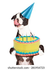 Cute little Boston Terrier puppy with tongue out licking lips and carrying a birthday cake with lit candles.