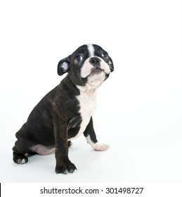 Cute little Boston terrier puppy looking up with a sad look on his face, on a white background.