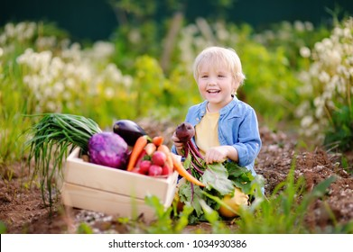 Cute little boy holding fresh organic beet in domestic garden. Healthy food for kid. Harvest time