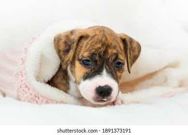 Cute little brindle pit bull puppy lies on a paw. Dog isolated on white background. Wrapped in a pink sweater