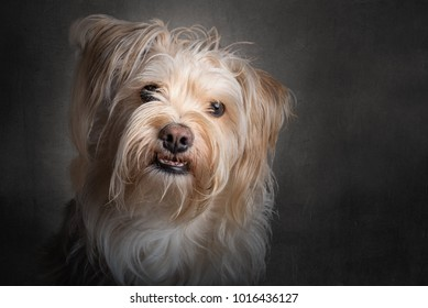 Cute little brown dog isolated on a dark gray background