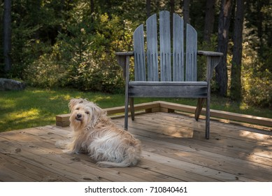 A cute little brown dog resting on a late summer afternoon on a wooden deck with a weathered Adirondack chair