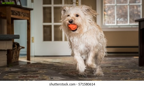 Cute little brown dog running with a ball in the living room