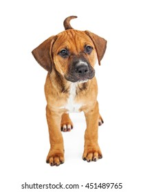 Cute little brown mixed breed puppy standing on white studio background