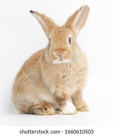 Cute little brown rabbit On a white background. The concept of mammals and Easter.  isolated