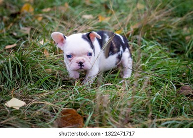 a cute little bull terrier puppy is standing on the grass somewhere in the park is lonely and defenseless