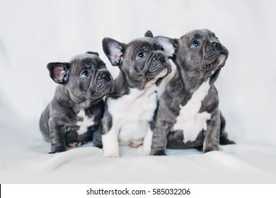 Cute little bulldog puppy