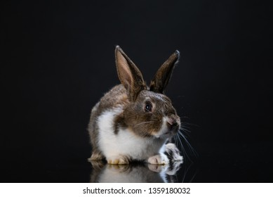 Cute little bunny rabbit on dark black background. Small white and gray rabbit isolated. Wallpaper. Easter symbol. Beautiful lovely pet. Rabbit portrait on black background with reflection.