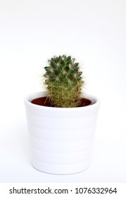 cute little cactus in a white planter on isolated white background