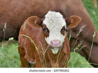 cute little calf white and brown in grass with cow background