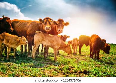 Rute kleine Kälber Weiden mit Kühen. Agrarhintergrund